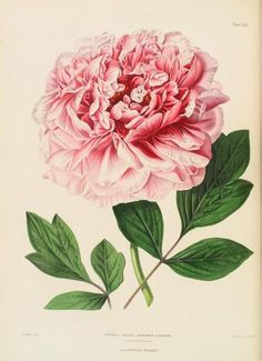 Paeonia (Moutan) Elizabeth Casoretti (1857-61) by Augusta Innes Withers (1792-1869). From 'The Illustrated Bouquet.' Image and text NYPL Digital Gallery.