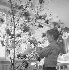 Anders dekorerar ett påskträd i Stabby, Uppsala 1961.