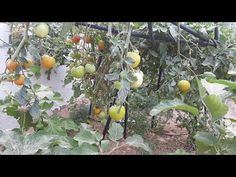 application for tomato,egg plant and hot pepper before summer Stuffed Hot Peppers, Eggs, Plants, Summer, Summer Time, Egg, Summer Recipes, Flora, Plant