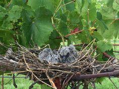 Baby birds in the vineyard- 2016