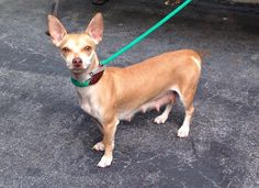 TO BE DESTROYED THURS 09/11/14 -P Manhattan Center   My name is APPALACHIAN. My Animal ID # is A1012663. I am a female tan chihuahua sh mix. The shelter thinks I am about 2 YEARS   I came in the shelter as a STRAY on 09/02/2014 from NY 10452, owner surrender reason stated was STRAY.