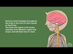 ▶ The Nervous System - How the Body Works | Mocomi Kids - YouTube
