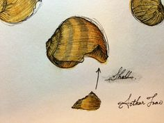 Shell Illustration
