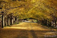 <漫步在金黃色的東京 7處銀杏大道名所大公開!>  不讓楓紅獨佔風頭,秋天的東京街頭處處瀰漫著金色的浪漫情懷,秋天到東京來就是要賞銀杏美景! 銀杏的觀賞期還能比楓紅更長,大約可維持1個月左右,每年銀杏轉黃澄之後的最佳來訪期約在11月中旬~12月中下旬左右。而且在天氣好的日子,銀杏在陽光的照射下更是耀眼閃亮,令人驚艷! 因此若秋季來到東京遊玩,絕對不要錯過以下這7處能讓你漫步金黃色的銀杏大道的名所。