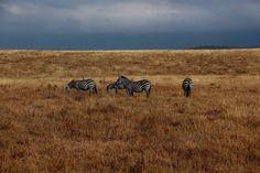 Zebras feeling that finally rain is coming... #zebra  #tasteofafrica #africa #afrika #tansania #tanzania #ngorongoro #ngorongorocrater #safari #savannah #thisisafrica #rain #wildlife #wildanimals #animals by vera_engeler @enthuseafrika