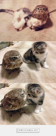 Pin By Karyn QuinSmith On OWLS Pinterest Animal - Owlet kitten meet coffee shop become best friends