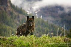 Saw a black wolf on Flag Ranch Rd near our cabin at  Togwotee Mtn Lodge in Wyoming ....Awesome!