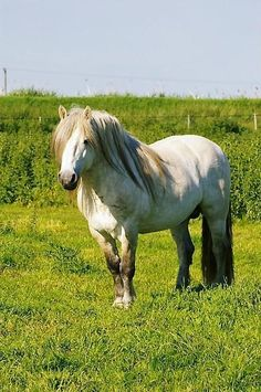 """Highland Pony Stallion """"Highland Chief of Whitefield"""" Highland Pony, Different Horse Breeds, Clydesdale, Happy Animals, Horse Art, Beautiful Horses, Equestrian, Miniature Horses, Creatures"""