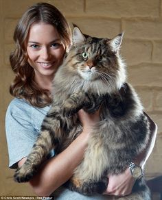 Prize-winning: Rupert is a three-time cat of the year in Australia, and is said to be one of the biggest domestic cats in the world. (Now THAT'S a cat!)  This pic reminds me of my much beloved Maine Coon cat who passed 5 yrs ago. He was my gentle giant & buddy.