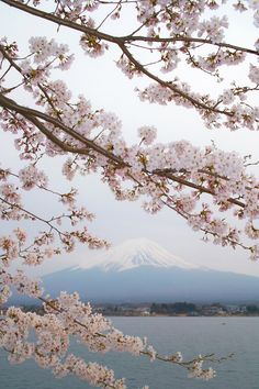 spring cherry blossoms and Mt. Fuji, Japan