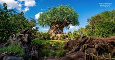 When it comes to variety in the Walt Disney parks, there is really nothing like the Animal Kingdom—and it's all thanks to nature's own inherent variety. Here are fifteen experiences that you must seek out in Disney's ever-amazing Animal Kingdom to be both educated and thrilled! 15) Meet Tarzan. Since Tarzan's wonderful show was replaced ...