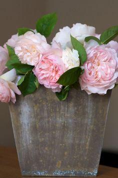 hermoine david austin roses