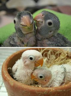 I love you too - baby love birds