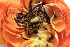 Ranunculus and the magic inside. It is that wonderful time of year that we can buy them at the grocery store!