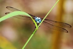Blue Dragonfly. Photo by Chris Crowder.