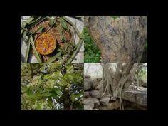 Medicinal Rice P5O Formulations for Tragus Excess: Pankaj Oudhia's Medic...