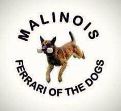 I love and support all breeds but I'm especially fond of the working dogs that I used to purchase before I retired. Berger Malinois, Malinois Puppies, Belgian Malinois Dog, Belgian Shepherd, German Shepherd Dogs, German Shepherds, Belgium Malinois, Dog Commands, Police Dogs