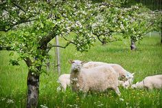Kesälampaat laiduntavat hyötypuutarhassa omenapuita kasvavalla niityllä sekä kesantoalueella. Kuva: Riitta Salmi/Turun Sanomat