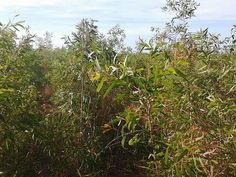 Cajuput plant in buru island, eastern Indonesia