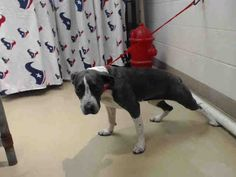 12/30/16 - HOUSTON Review date is now TUESDAY 1/3 at 3:30pm for adoptions/4:00pm for rescue groups to tag. -PLEASE WATCH VIDEO!!! This DOG - ID#A474599 I am a female, gray and white Pit Bull Terrier mix. My age is unknown. I have been at the shelter since Dec 27, 2016. Harris County Public Health and Environmental Services. https://www.facebook.com/harriscountyanimalshelterpets/videos/1364663586930769/
