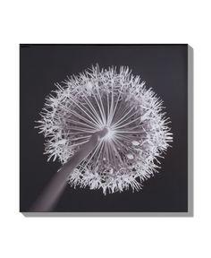 dandelion x-ray
