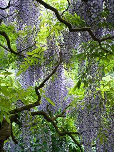 Japanese wisteria (Wisteria floribunda 'Longissima')