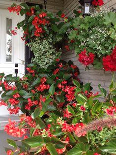 kletter erdbeere hummi 3 pflanzen spalier klettern und gitter. Black Bedroom Furniture Sets. Home Design Ideas