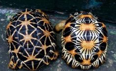 Each radiated tortoises from Madagascar has a totally unique pattern. They are gorgeous...Which is part of the reason they are endangered.