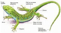 Biología: Reino Animalia. Vertebrados (Reptiles)