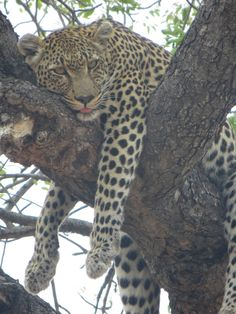 Resting Leopard after his meal, right above our jeep!