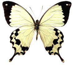 Papilio dardanus meriones - AFRICAN MOCKER