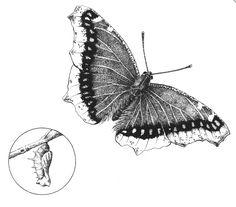 Butterfly Wing Anatomy - EnchantedLearning.com   Butterfly Wing Art ...