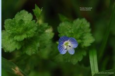 Bird's Eye Speedwell (Veronica persica), Persian Speedwell, Winter Speedwell. A weedy plant, though apparently not invasive enough to be restricted in any state. Blossoms are on a pedicel longer than most other Veronicas, & note the hairs on the plant.  ~ I'm not certain we've seen this around here, but am adding it for possible ID later.