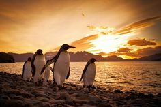 """King Penguins returning from the sea at sunrise, South Georgia, Antarctica.""    Smithsonian.com Photo of the Day: August 30, 2012. Photo by Samantha Crimmin."