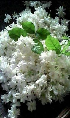 34 Best Sampaguita Images Sampaguita Beautiful Flowers Jasmine
