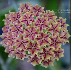 Hoya Mindorensis red star - My site