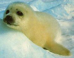 kuutti (baby seal)