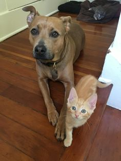 My pitbull mix and the foster kittens get along so well. http://ift.tt/2r19FcJ