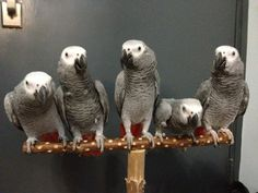 African grey parrots.  Tony would like all of these friends.