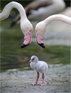 Baby flamingo with mom and dad