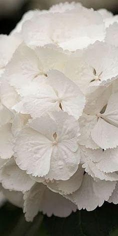 "flowersgardenlove: "" Snowball Hydrangea Beautiful """