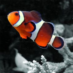 Google Image Result for http://www.northwacotropicalfish.com/images/clownfish.jpg