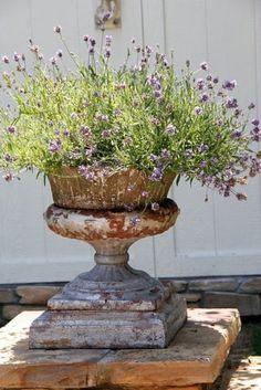Lavender in a garden urn.love the way the urn looks as if it!s a century or two old. If not, I'd make it look that way! Container Plants, Container Gardening, Pot Jardin, Urn Planters, Garden Urns, Garden Bed, Herb Garden, Plantation, Spring Garden