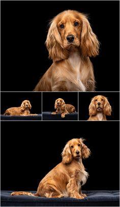 Perro Cocker Spaniel, Golden Cocker Spaniel, Spaniel Puppies, Cocker Dog, Corgi Puppies, Teacup Puppies, Pet Photography Tips, Animal Photography, Photography Business