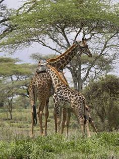 Metal Print: Masai Giraffe Mother and Young, Serengeti National Park, Tanzania, Africa by James Hager : Mother And Baby Animals, Cute Baby Animals, Savanna Animals, Animal Babies, Wild Animals, African Animals, African Safari, Masai Giraffe, Cute Little Kittens