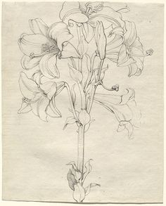 Image:Philipp Otto Runge Wolgast 1777–1810 Hamburg A Stalk of Lilies with Six Blooms 1808 pen and ink over graphite on very light green paper National Gallery of Art, Washington, Wolfgang Ratjen Collection. Patrons' Permanent Fund, 2007