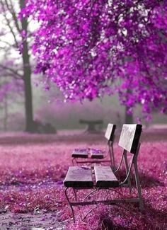 purple tree and wooden bench