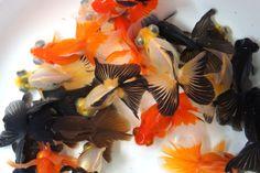 Demekins - Wonderful More Fantail Goldfish, Goldfish Pond, Freshwater Aquarium, Aquarium Fish, Aqua Culture, Cool Fish, Aquarium Design, Pet Fish, Underwater Creatures