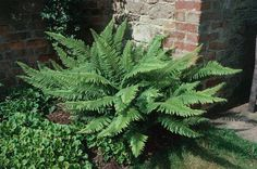 Ferns make great plants for the garden or the home. Most prefer some shade and water, but there are many to choose from. Here are some tips and ideas for choosing and growing fern plants indoors or in the garden. Shade Garden, Garden Plants, House Plants, Propigating Plants, Foliage Plants, Garden Art, Ferns For Sale, Evergreen Ferns, Ferns Care