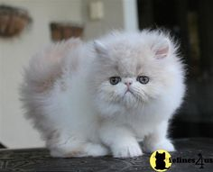Persian Kittens...we will need to be getting one in a year or 2 ;)